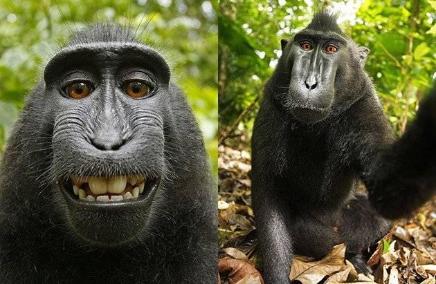 monkeyselfie-28642923c95b021c7f63db6dd6193a33.jpg