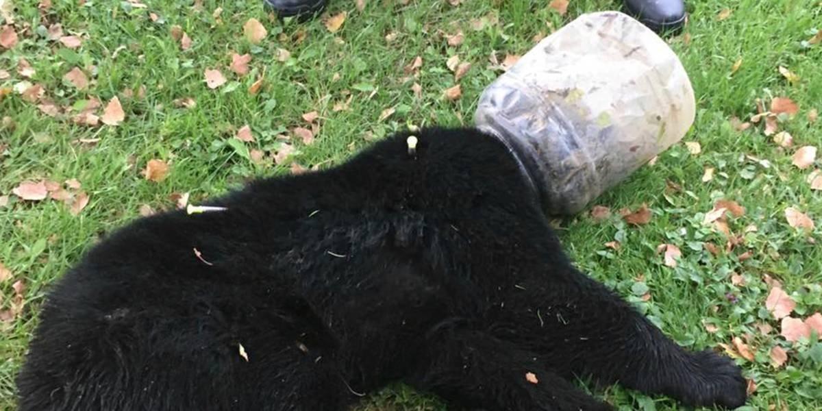 Lo rastrearon durante tres días para conseguir su cometido: lograron liberan a osezno que tenía un bidón atorado en la cabeza