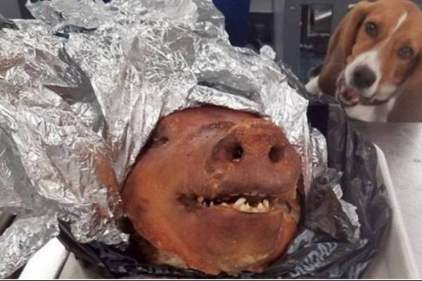 Perro detectó un cerdo asado en equipaje de ecuatoriano en Atlanta