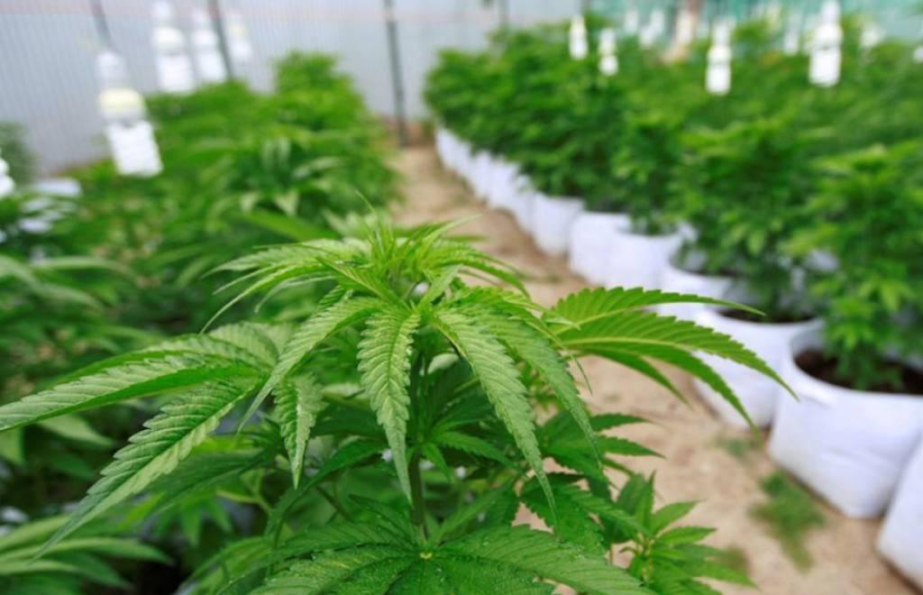 marihuana3-18a481748f938d6efa751cdd7e526928.jpg