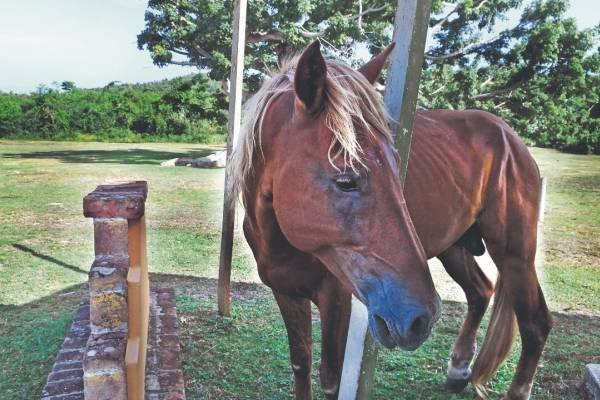 Según la Policía, entre enero y agosto de este año se han atendido 199 querellas por maltrato de caballos. Foto: Dennis A. Jones