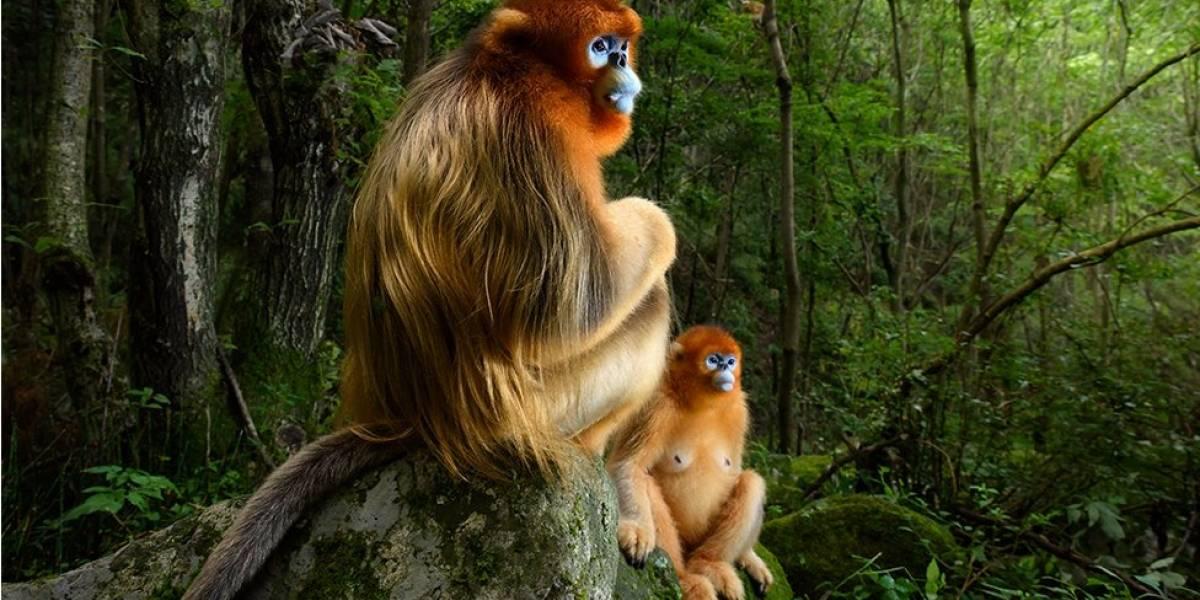 Wildlife Photographer of the Year 2018: imagem de macacos ameaçados de extinção é a vencedora deste ano