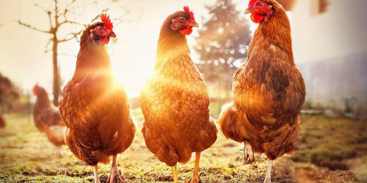 O frigorífico que produz carne de frango sem matar uma ave