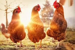 https://www.metrojornal.com.br/estilo-vida/2018/10/17/o-frigorifico-que-produz-carne-de-frango-sem-matar-uma-ave.html