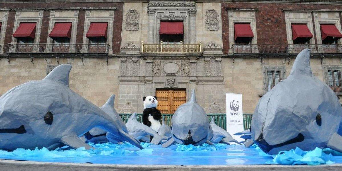 Vaquita marina, con esperanza de salvarse de la extinción