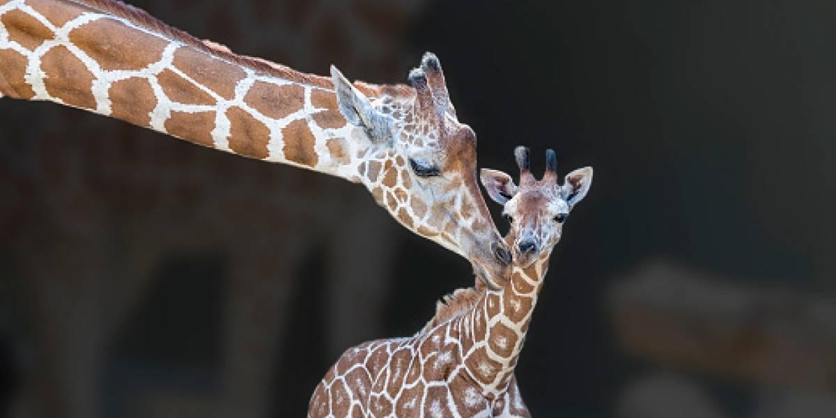 Cruel broma de la naturaleza: jirafa ayudaba a su cría a dar sus primeros pasos sólo para ser devorada por un león