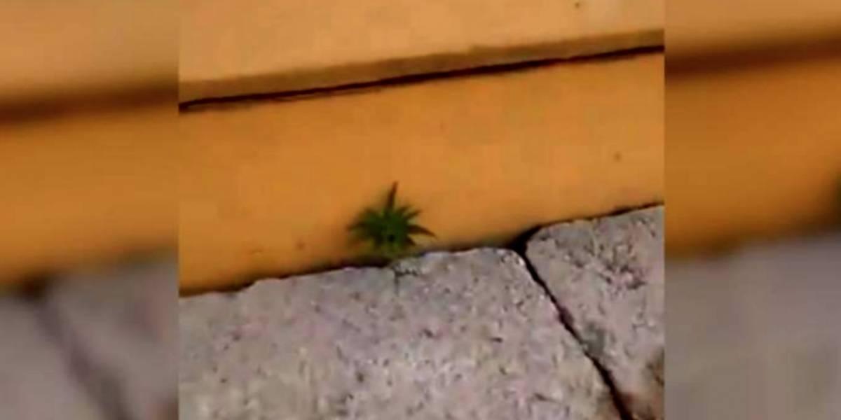VIDEO: Aficionados encuentran planta de marihuana en estadio de futbol