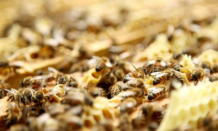 Las abejas son el ser vivo más importante del planeta