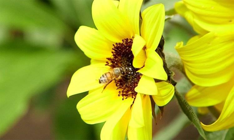 ¡Cuidado! si las abejas mueren, el hombre también
