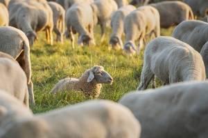 Increíble registro: cuatro ovejas se alinean de manera perfecta y se hacen viral tras protagonizar la mejor fotografía del fin de semana