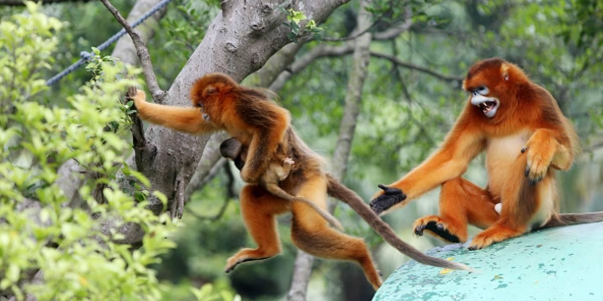 Un grupo de monos mató a un hombre a ladrillazos