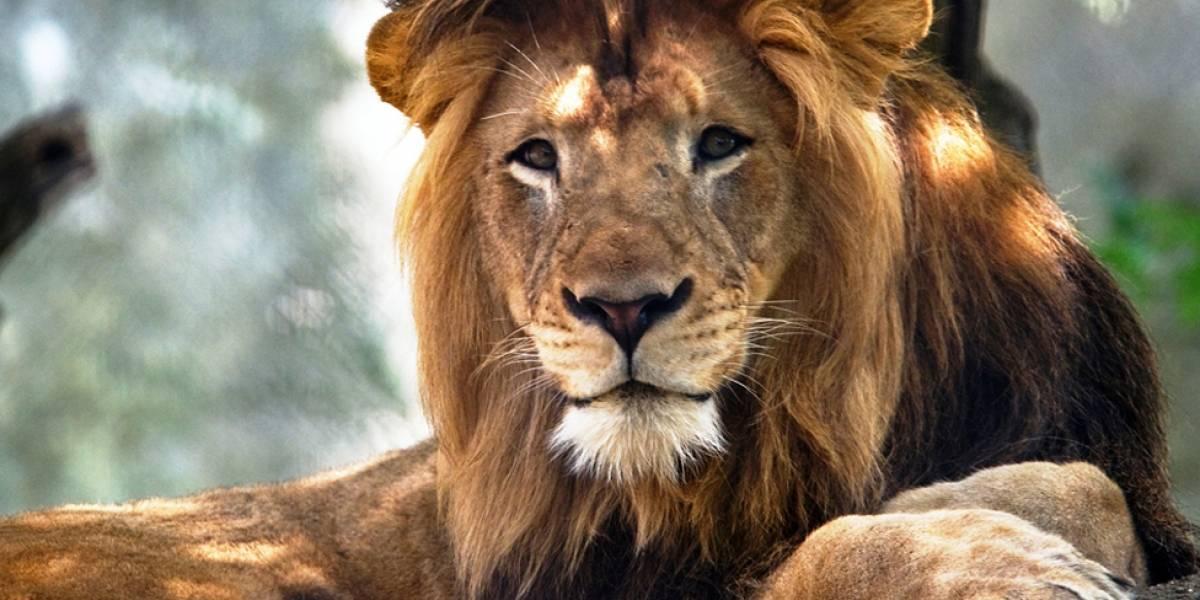 Leoa mata pai de seus três filhotes em zoológico nos EUA