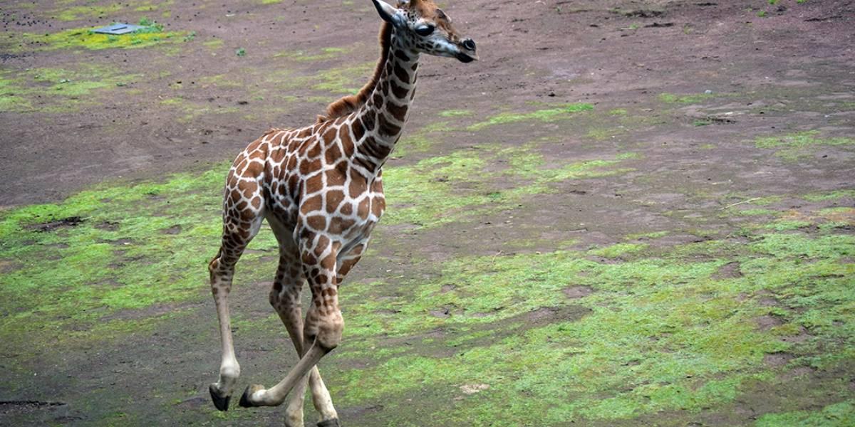 Nace jirafa en el Zoológico de Chapultepec