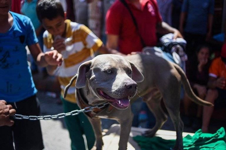 'Bolillo', el perro que viaja con la caravana de migrantes hondureños