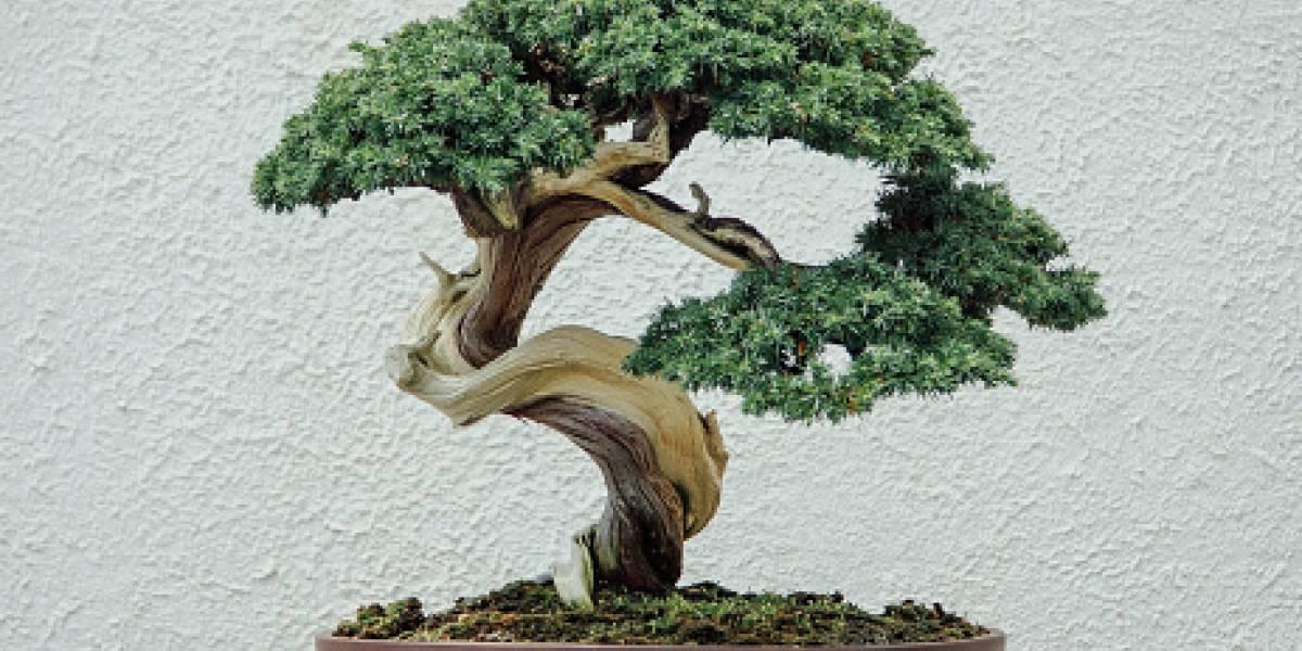 """""""Siento como si hubieran secuestrado a mi hija"""": huracán arrasa con sus bonsái, logró rescatar a su regalón de 56 años y ahora se lo robaron"""