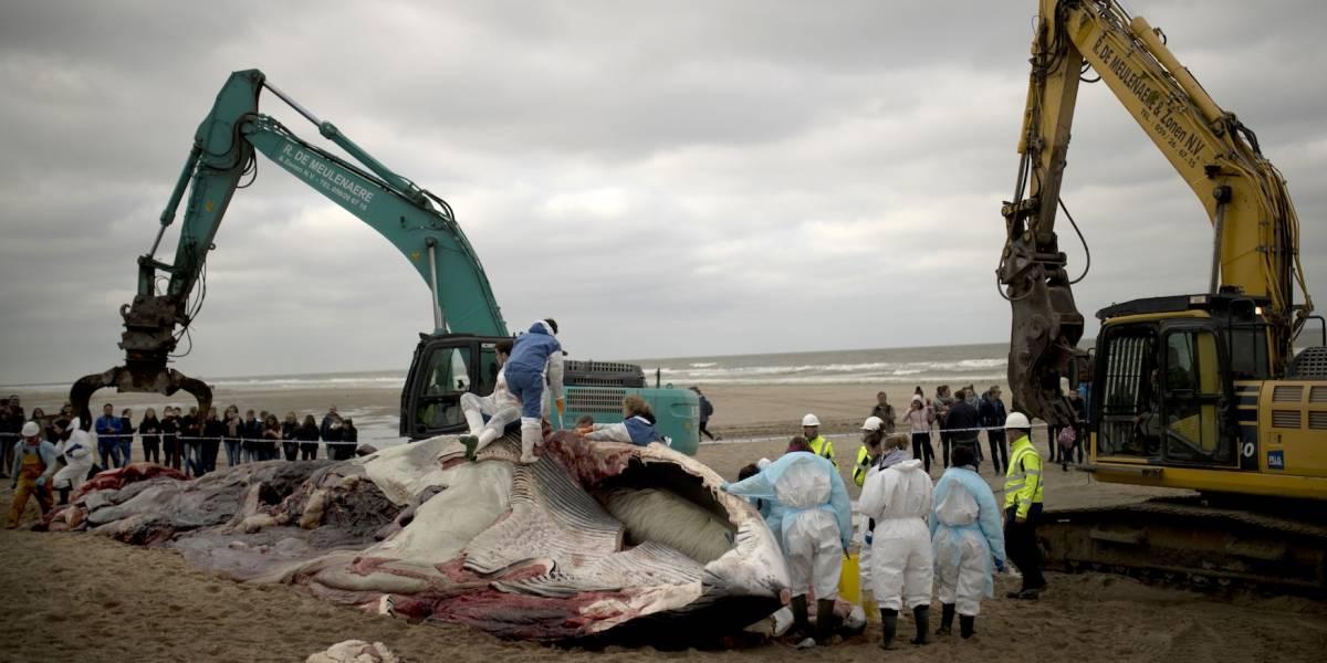 Investigan trágica muerte de ballena en Bélgica