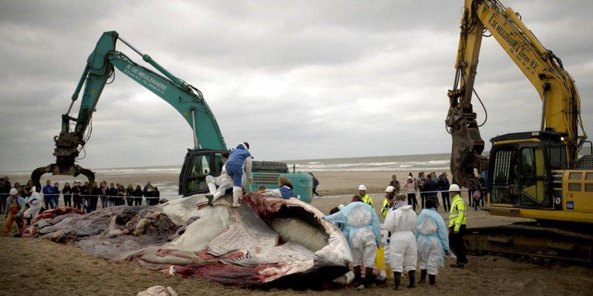 Ballena de 35 toneladas fue encontrada muerta en playa de Bélgica