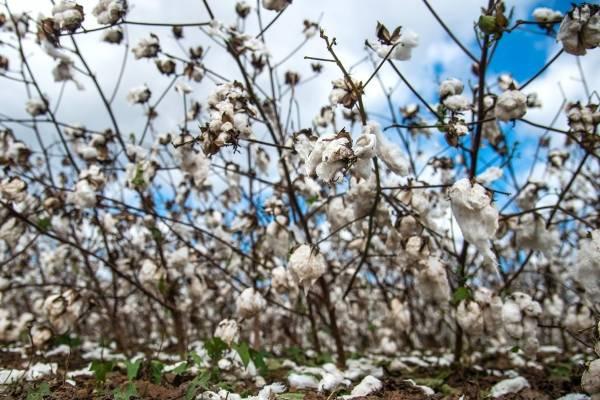 Fibras de algodón húmedo yacen en el suelo en un cultivo del condado de Macon, en Georgia, el jueves 11 de octubre de 2018. El huracán Michael provocó daños en el sector agropecuario del estado.