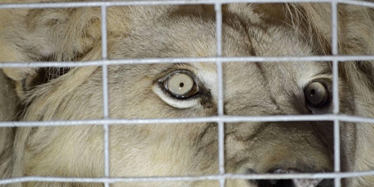 Brutal ataque de una leona dentro de un circo