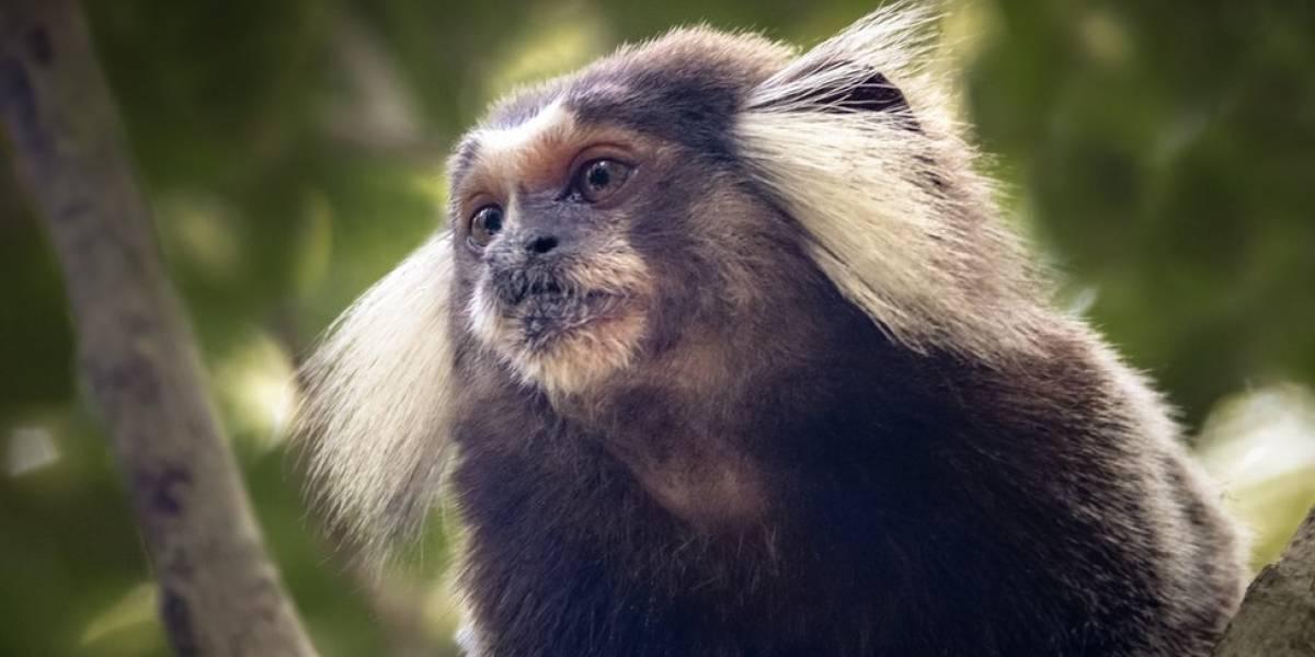 Por que a descoberta do vírus Zika em macacos pode ser problema sério para o Brasil