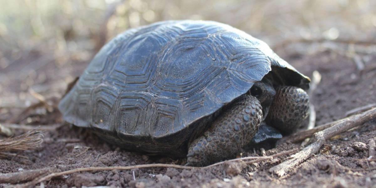 Mundo enfermo: Se robaron 123 tortugas de las Islas Galápagos