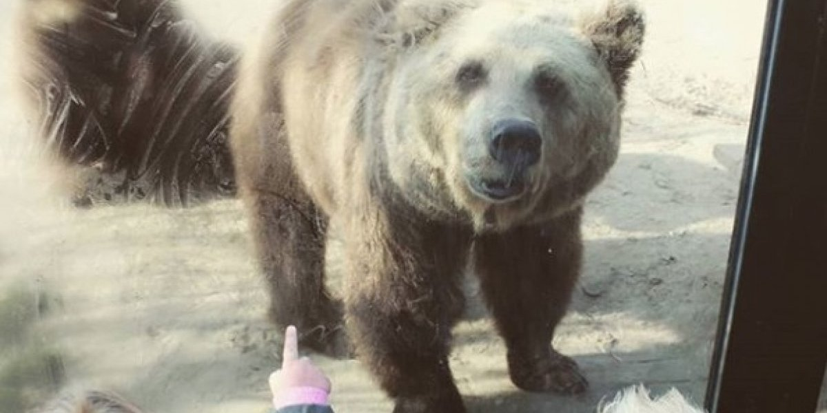 Tarde de horror en zoológico holandés: osos atacan y desmiembran a un lobo frente a los horrorizados visitantes