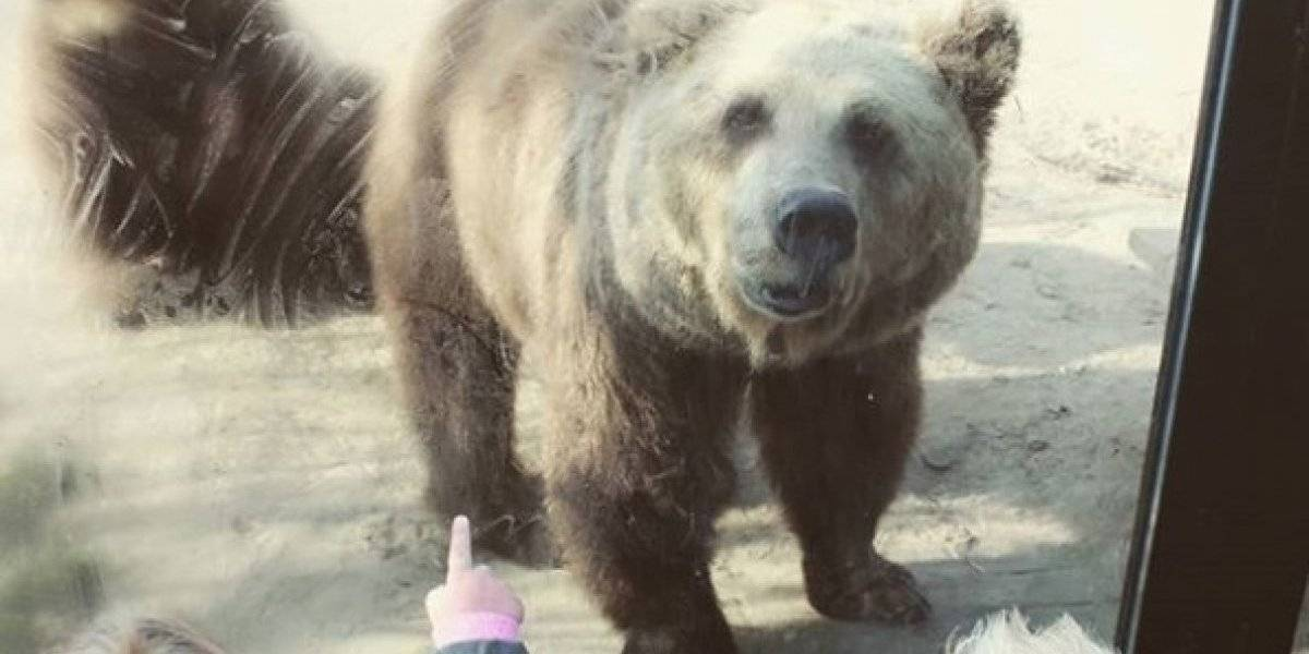 Osos atacan y desmiembran a un lobo en zoológico holandés