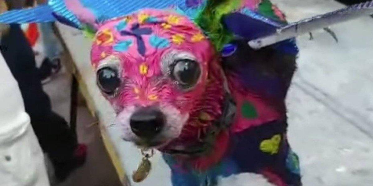 """""""Le gusta"""": Acusan a mujer de maltrato animal tras bañar a su perro en pintura para disfrazarlo"""