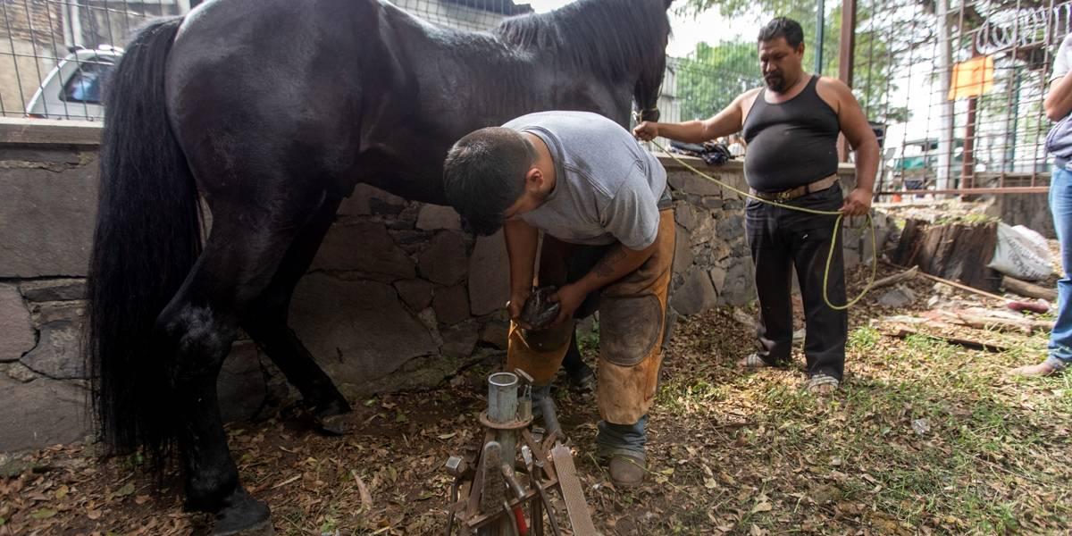 Realizan operativo para analizar estado de salud de caballos de calandrias