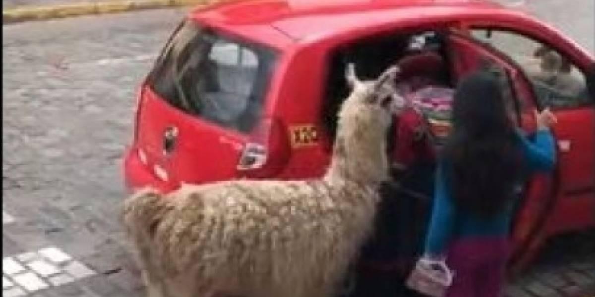 Llama se convierte en viral tras subir a pequeño taxi junto a su dueña en Perú