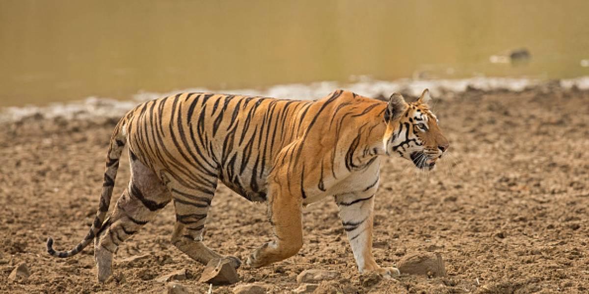 Polémica por asesinato de tigresa que sembraba el pánico en India