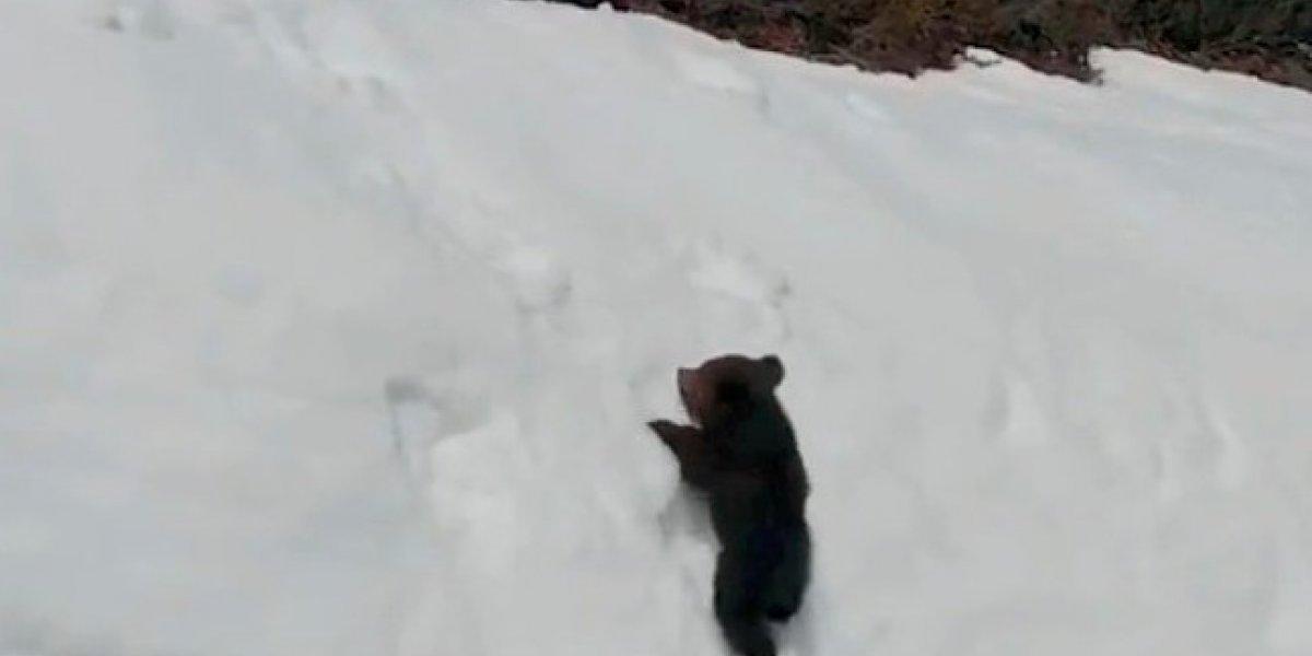 ¿Maltrato animal?: la dramática historia que esconde el video viral de mamá osa y su osito escalando en la nieve