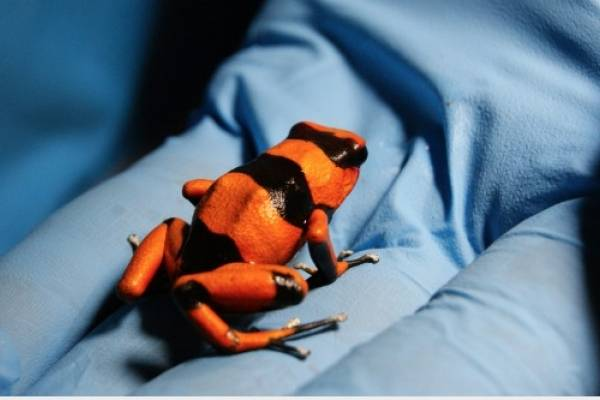 Impresionante hallazgo de ranas venenosas en el Aeropuerto El Dorado de Bogotá