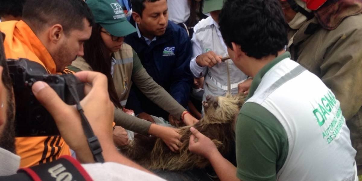 En fotos: el heroico rescate de un oso enredado en un poste