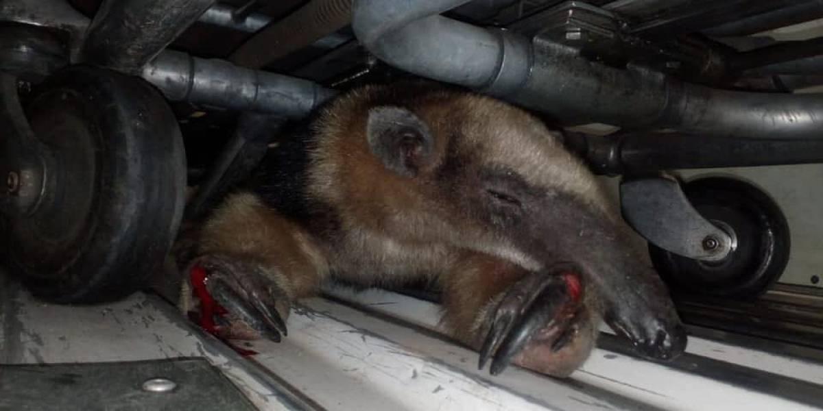 Rescatan a oso hormiguero que vecinos golpearon antes de dar aviso a los bomberos