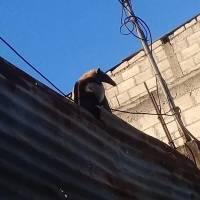 Oso hormiguero localizado en San Miguel Petapa