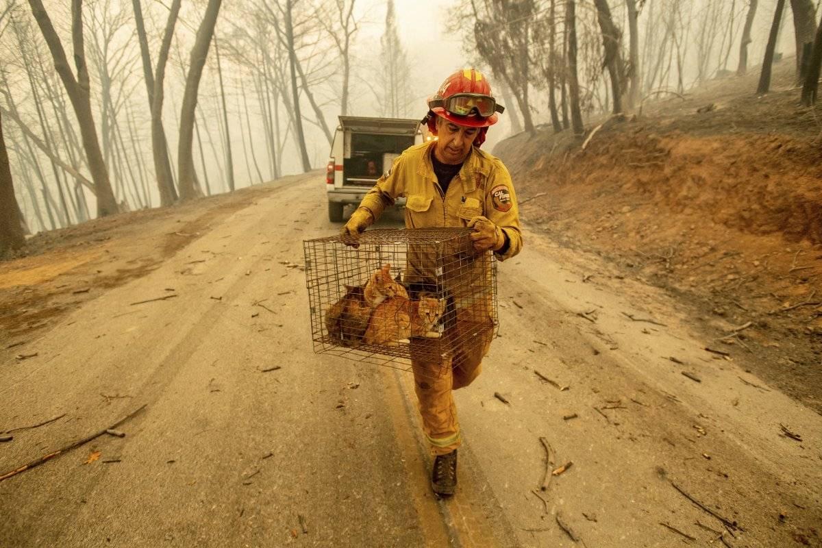 El capitán Steve Millosovich rescata del fuego unos gatos en Big Bend, California, el viernes 9 de noviembre de 2018. Millosovich dijo que la jaula se cayó de la cama de una camioneta pickup cuando un evacuado conducía a un lugar seguro. (Foto: AP / Noah Berger, Archivo)