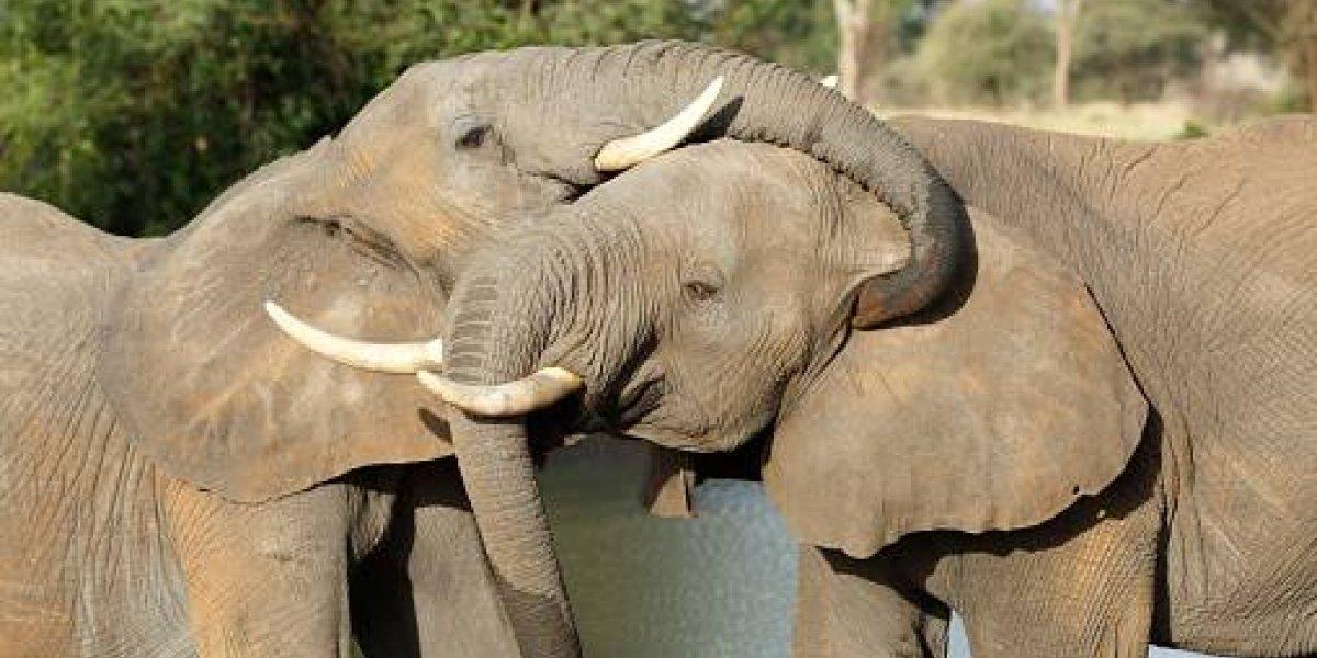 Sorprendente: elefantes evolucionan y eliminan su principal característica tras años de ser asesinados por cazadores furtivos por el marfil