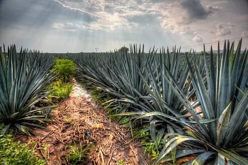 Plantación de agaves Foto: Getty Images