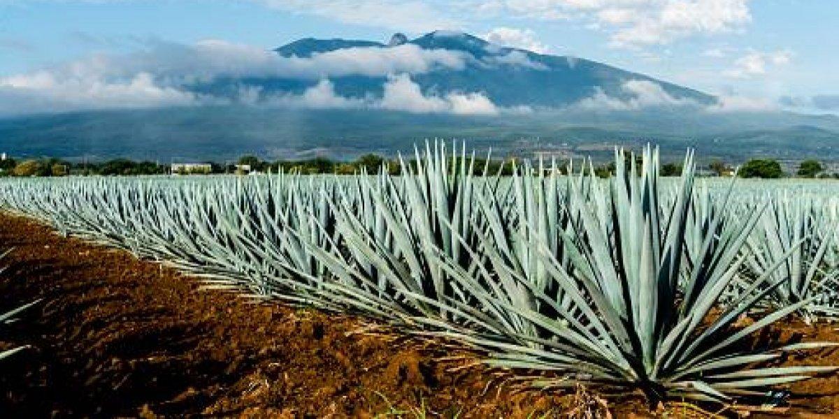 Industria tequilera requiere plantación de 75 millones de agaves