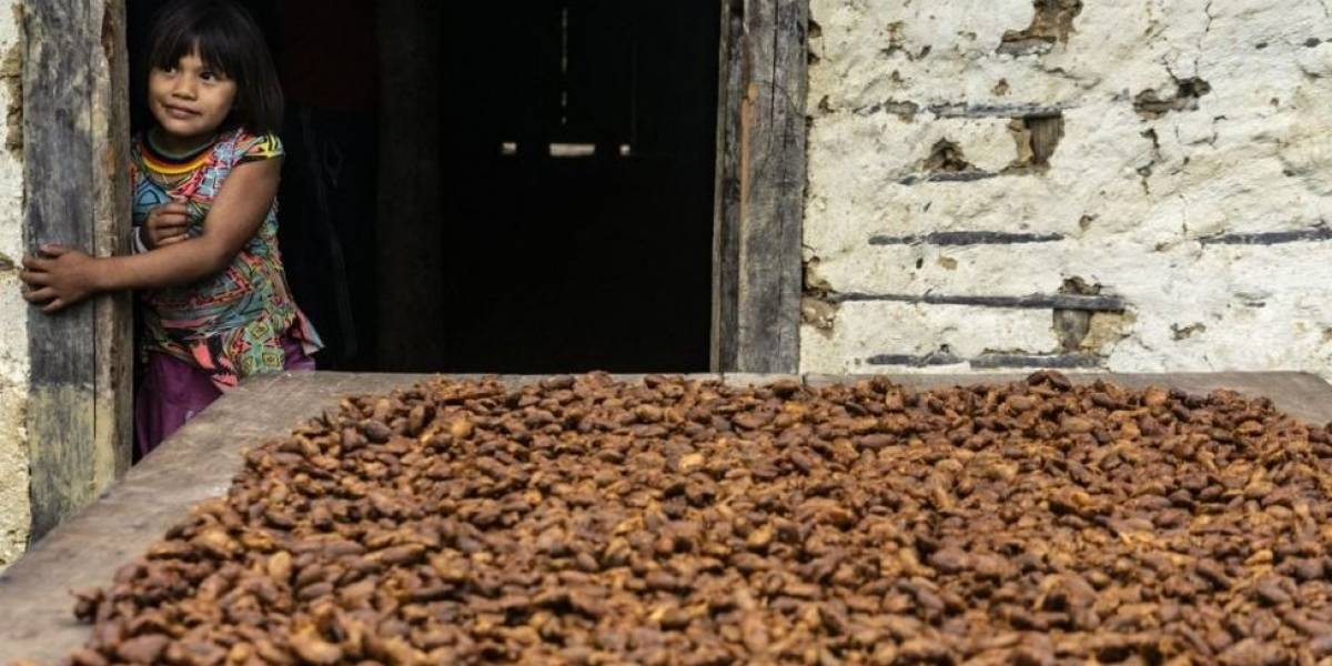 """Grupo indígena do Brasil aposta em """"fruta dourada"""" para fazer chocolates finos"""
