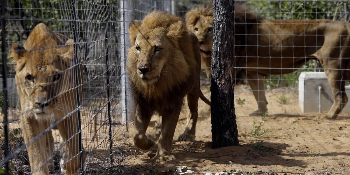 Rescatan a leones de circos y mueren en santuario sudafricano