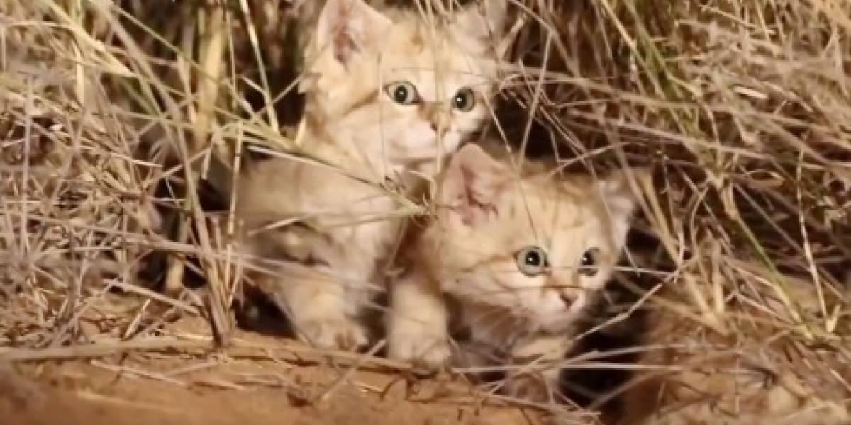 Los gatitos más adorables que verás en tu vida: revelan increíbles imágenes del desconocido y enigmático felino de arena del Sahara