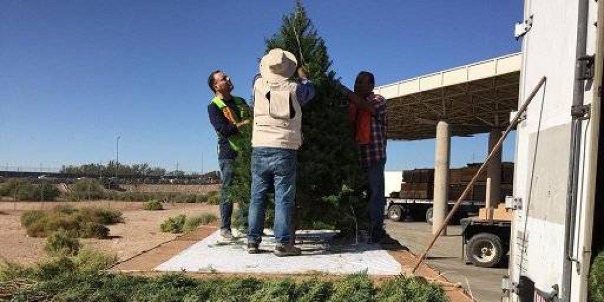 Regresan más de 2 mil árboles de navidad a EU por plaga