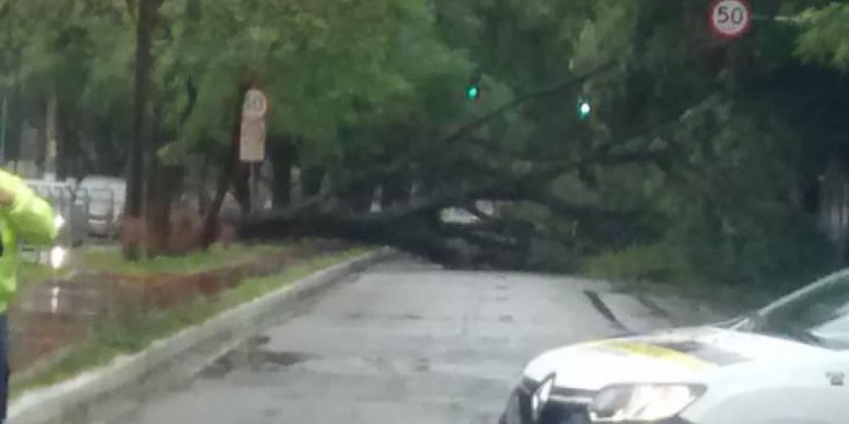 Árvore de grande porte cai e bloqueia avenida República do Líbano