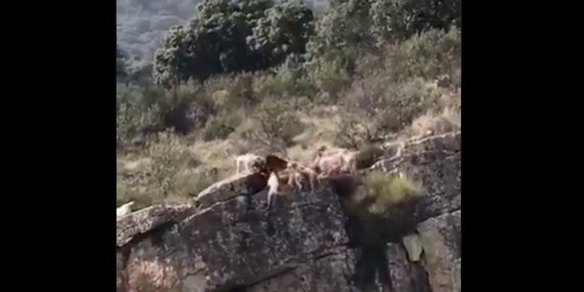 El brutal registro que generó indignación en redes sociales: 12 perros y un ciervo mueren al caer por un barranco durante una cacería
