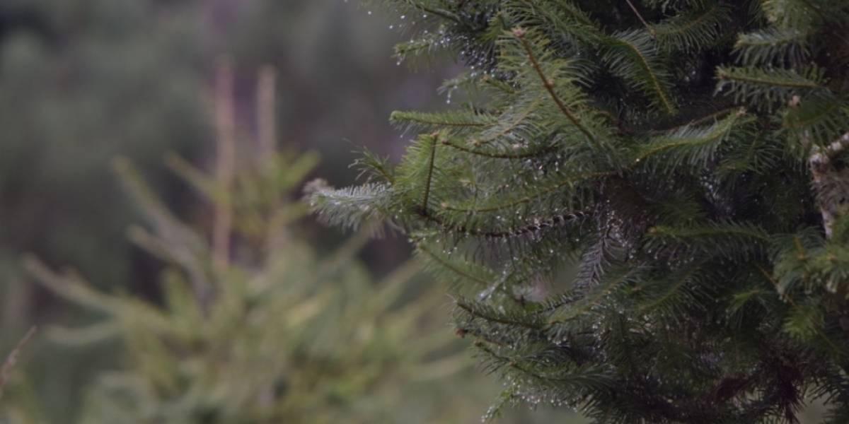 ¡Histórico! Dos fincas en Jalapa se estrenan en la siembra de pinabetes, una especie endémica