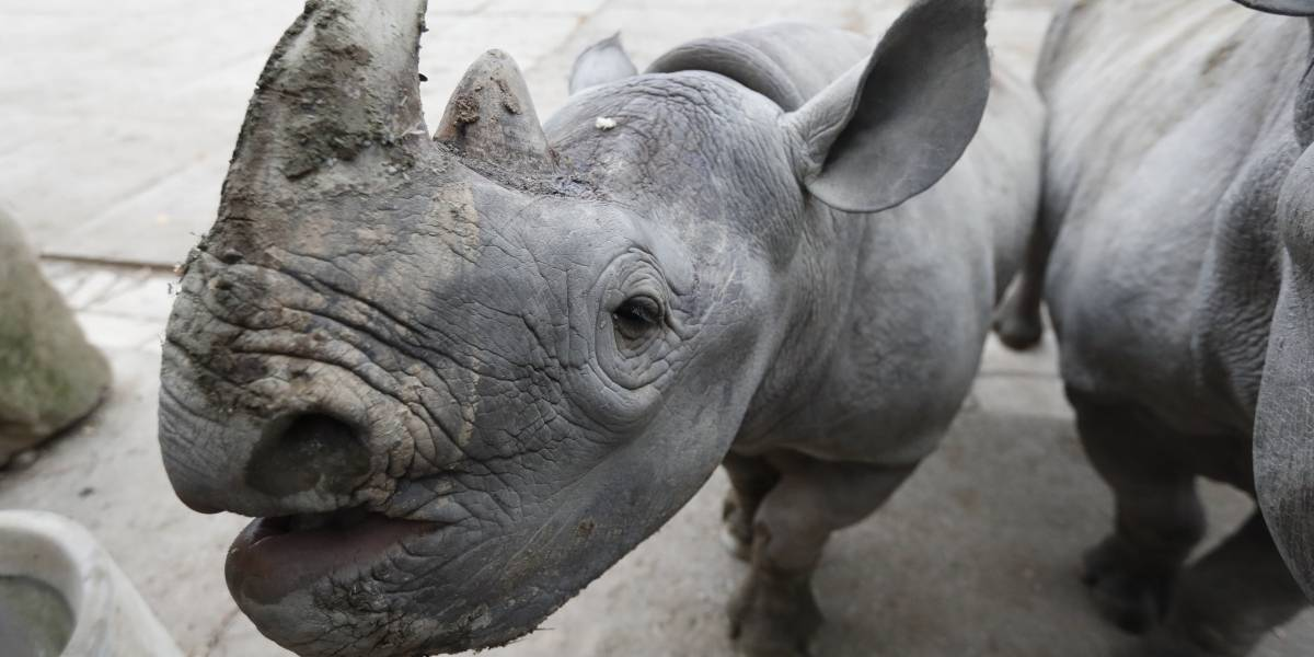 Zoológicos europeos enviarán rinocerontes negros a Ruanda