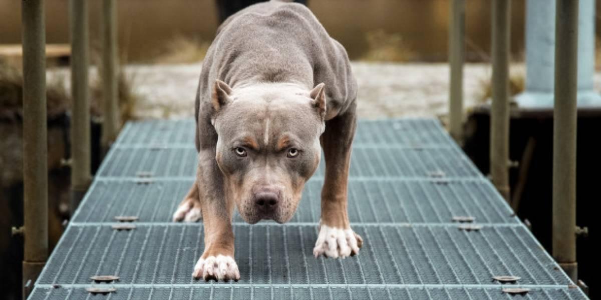 Pitbull ataca a más de una docena de niños en área de juegos