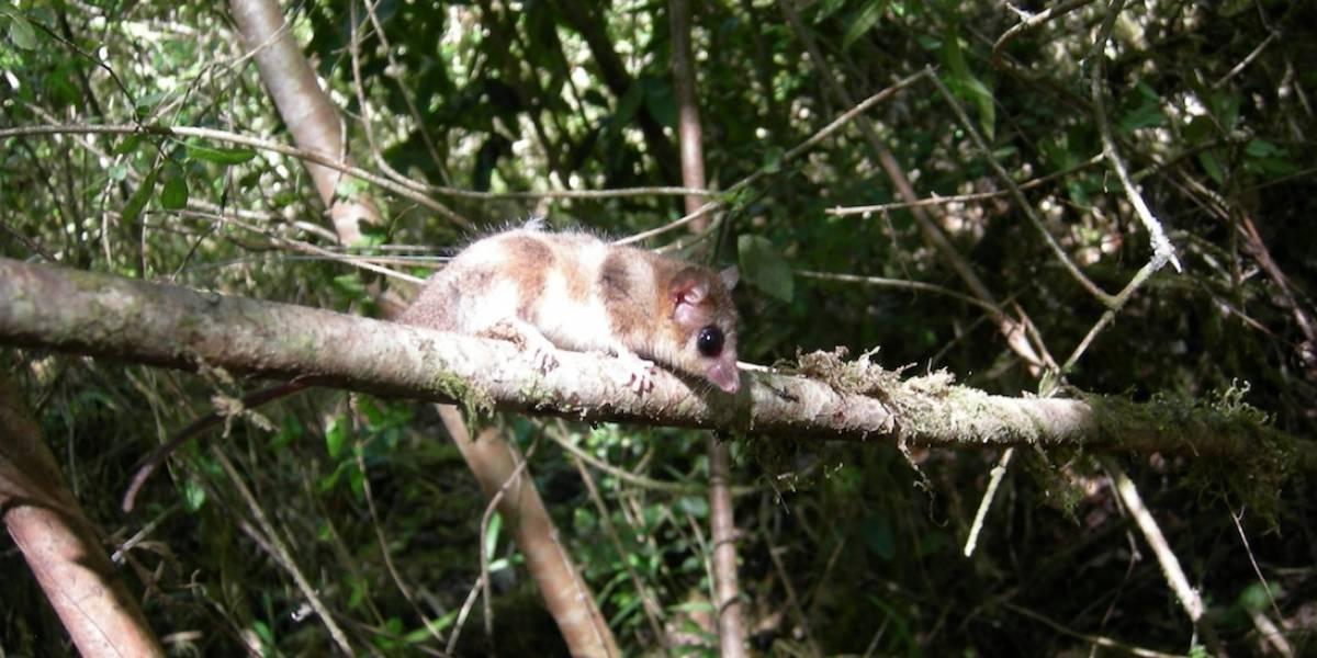 Gracias al monito del monte: científicos chilenos publican primer estudio a nivel mundial sobre los genes de la hibernación en marsupiales